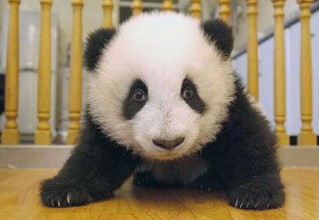 baby_panda